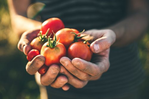 Image of handful of tomatoes for our ranking of top associate's in agriculture